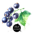 hand drawn watercolor painting black currant on vector image