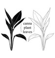 hand drawn silhouette canna leaves vector image vector image