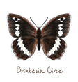 Butterfly Brintesia Circe Watercolor imitation vector image vector image