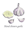 Hand drawn raw garlic sketch vector image