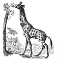old giraffe engraving vector image