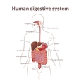 GI tract organs vector image vector image