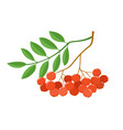 branch of ashberries isolated on white set vector image