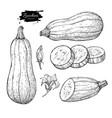 zucchini hand drawn set vector image vector image