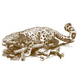 engraving of snow leopard vector image vector image