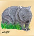 fluffy young motley wombat on the grass isolated vector image vector image
