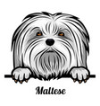 head maltese - dog breed color image a dogs vector image vector image