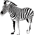 Zebra in profile vector image