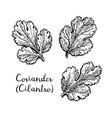 coriander ink sketch vector image vector image