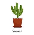saguaro cactus in pot vector image