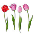 hand drawn set of side view red pink tulip flower vector image vector image