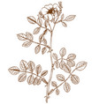 rosa inodora vector image vector image