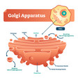 golgi apparatus labeled scheme vector image vector image