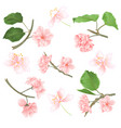 blossoms sakura set on a white background vector image