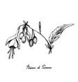 hand drawn of brinco de princesa frutis on white b vector image