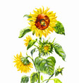 watercolor sunflower vintage hand-drawn isolated vector image vector image