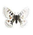 Butterfly Parnassius Apollonius vector image vector image