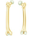Cartoon of human bone anatomy vector image vector image