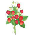 wild strawberry bouquet vector image