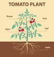 tomato plant vector image vector image