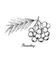 hand drawn of ripe rowanberries on white backgroun vector image