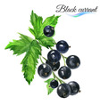 Watercolor black currant vector image