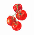 tomatoes on a branch isolated on white watercolor vector image vector image