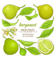 bergamot elements set vector image