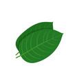 mitragyna speciosa kratom leaf vector image vector image