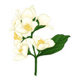 beautiful jasmine branch isolated on white vector image vector image