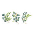 eucalyptus leaves bouquet in a watercolor style vector image