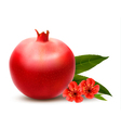 Juicy pomegranate with leaves vector image