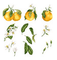 orange plant set with fruit on branches flowers vector image vector image