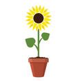 cartoon garden sunflower grow in pot vector image vector image
