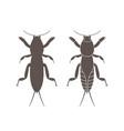 mole cricket vector image vector image