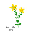 drawing plant of hypericum vector image vector image