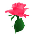 blossoming flower pink rose vector image vector image