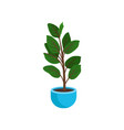 ficus elastic or rubber plant in bright blue vector image vector image