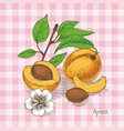 ripe apricot whole slice and cross section vector image vector image