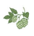 elegant botanical drawing of hop sprig green vector image vector image