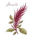 amaranthus or amaranth vector image vector image
