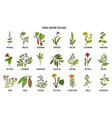 natural herbs for cough remedies vector image vector image