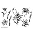 set hand drawn black and white edelweiss vector image