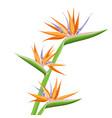 strelitzia orange tropical flower isolated on vector image vector image