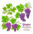 grapes set vector image vector image