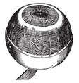 iris ciliary muscle and coroidea membrane vintage vector image vector image