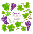 grapes elements set vector image