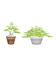 Two Bonsai Tree in Flower Pot on White Background vector image vector image