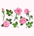 pink roses elements set isolated on the white vector image