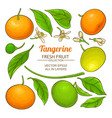 tangerine fruit vector image